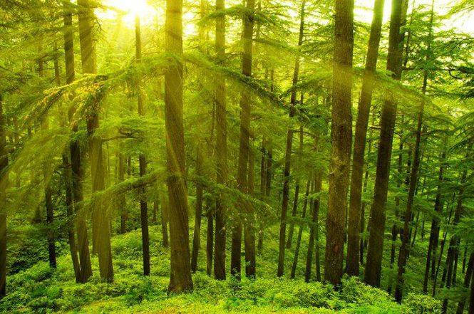 Deodar Forest