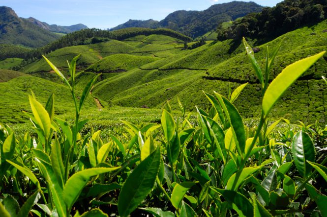 Tea Gardens of Kerala